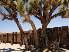 #Joshua #Trees outside Pappy and Harriet's