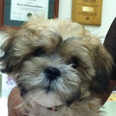 Shih-poo shih-tzu poodle mix so adorable New Puppy, Puppy Love, Shih Tzu Poodle Mix, Animals And Pets, Cute Animals, Shih Poo, Shih Tzus, Dog Grooming, Roxy