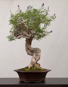 Bonsai… (not) Lavender. Chaste Tree.                              …