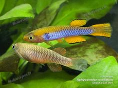 Aphyosemion ocellatum Sikasika GJS 00-5