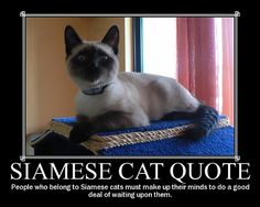People who belong to Siamese cats have to know that they are very high maintenance cats!! LOL