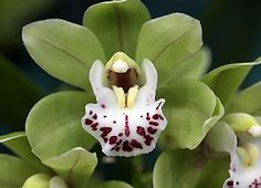 Cymbidium Orchids are originally from Kenya, Madagascar, Asia and nearby countries. They are a cool growing type of orchid and prefer a shaded position. Cymbidium Orchids grow on small trees and shrubs and are often found on coffee trees.