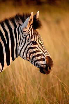 Africa | Close up of zebra in Hluhluwe Imfolozi Park. South Africa | ©James R.D. Scott