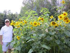 Sunflower Garden Ideas sunflower gardens My Dads Sunflower Garden