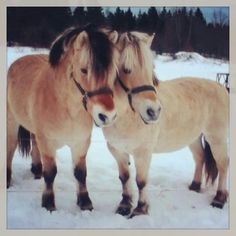 Fjord horses...love...childhood memories in Vermont