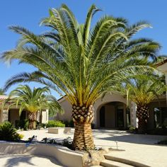 Canary Island date palm install large date palm 6 feet clear trunk California wholesale date palms and wholesale Sylvester Date Palms #realpalmtrees 1-888-778-2476