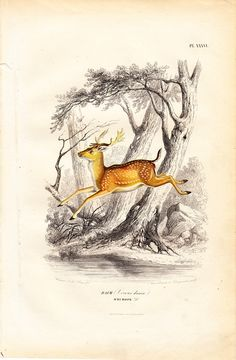 1860 Gorgeous DEER FALLOW from Europe by TwoCatsAntiquePrints