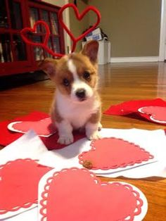 Copper the #Corgi Puppy: BE MINE! More of this cutie here:
