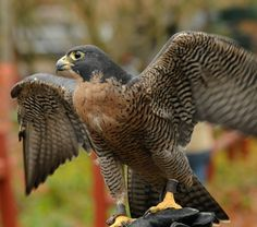 The fastest recorded speed of a Peregrine Falcon is 242mph!