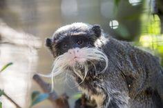 The emperor tamarin, also known as the Brockway monkey,(Saguinus imperator) Emperor, Mammals, Monkey, Bird, Cats, Garden, Jumpsuit, Gatos, Garten