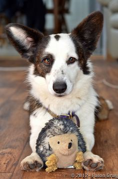 Eden, Cardigan Welsh Corgi