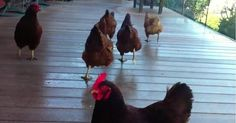 Happy Chickens Sprinting After Blueberries Are Completely Adorable