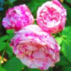 横浜イングリッシュガーデンにいた  ミッキーマウス��  ღღღ  #sunnydays  #japan_daytime_view  #japan_of_insta  #東京カメラガールズ  #東京カメラ部  #ig_japan  #cameragirl  #カメラ女子  #flowers  #flowerstagram  #flowermagic  #instaflower  #flowerslovers  #beautifulflowers  #beautifulnature  #beautiful  #lovely  #写真は心のシャッター  #写真好きな人と繋がりたい  #写真撮ってる人と繋がりたい  #ファインダー越しの私の世界  #canon  #canon_photos  #canonpowershot  #rose  #横浜イングリッシュガーデン  #flowergarden  #ig_nature  #はなまっぷ  #お写ん歩 http://gelinshop.com/ipost/1519949089671645652/?code=BUX8aTejonU