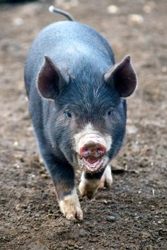 Berkshire piglet having a chat.