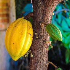 Sabías que el cacao se da así? Yo tampoco. #Cacao #Venezuela #Caracas