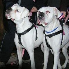 Hannah (and her sister, Gertrude) is an adoptable Boxer Dog in Scranton, PA. Hannah is a very sweet, hearing white boxer girl who was picked up as a stray with another white boxer named Gertrude. Thes...