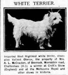 West Highland Terrier, CH. Valiant Oberon. 1932. Australasian newspaper ( Melbourne: Vic. ). National Library of Australia.