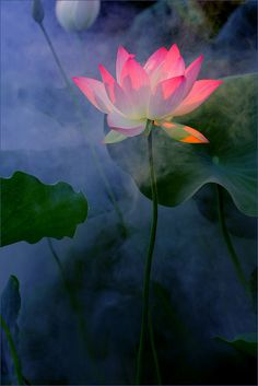 Pretty Pink Lotus Flower - Nice Photo !