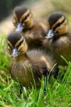 Quack Quack! !  ⭐⭐⭐
