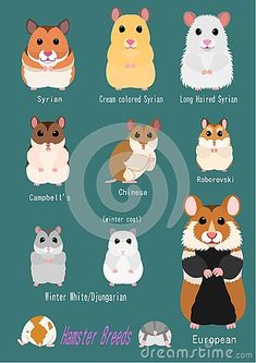 Collection of hamster breeds, various breed, front side with breed name. Collection of hamster breeds, various breed, front side with breed name. Habitat Du Hamster, Hamster Breeds, Hamster Life, Hamsters As Pets, Funny Hamsters, Syrian Hamster, Cute Hamster Names, Diy Hamster Toys, Baby Hamster