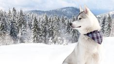 Husky during winter in front of a forest – Dogs not only have an incredibely precise sense of smell, but also remarkable ears. They can hear sounds 228 meters away while we can only hear sounds about 23 meters away.