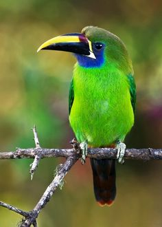 The Emerald Toucanet, Aulacorhynchus Prasinus, is a near-passerine bird occurring in mountainous regions from Mexico, through Central America, to northern Venezuela and along the Andes as far south as central Bolivia.