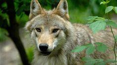 Mitten in einem wildromantischen Bergsturz-Waldgebiet liegt der Natur- und Tierpark Goldau. Auf rund 34 Hektaren ursprünglicher Natur können Besucher  Hirsche, Wölfe, Bären, Luchse und Greifvögel aus nächster Nähe beobachten. Rund 100 heimische und europäische Wildtierarten haben in den grosszügigen Gehegen eine artgerechte Heimat gefunden.    Ganz gleich zu welcher Jahreszeit, im Natur- und Tierpark Goldau gibt es für Jung und Alt jede Menge zu erleben. Park, Husky, Fox, Zurich, Travel, Natural Park, Lynx, Wild Animals, Families