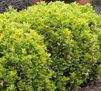1000 images about evergreen shrubs and trees for hedge. Black Bedroom Furniture Sets. Home Design Ideas