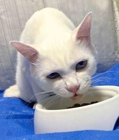 猫の食、猫の気持ちの謎「残念なイケメン猫 揺るぎなきセツSTYLE」