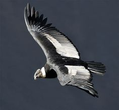 List of birds by flight heights - Top Andean Condor, California Condor, List Of Birds, Birds Of Prey, Beautiful Birds, Birds In Flight, Beautiful Creatures, Bald Eagle, Nature Photography
