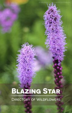 Directory of Wildflowers: Blazing Star (Liatris spicata)