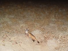 Prairie Wildlife Research of Wellington, CO - It's official.Black-Footed Ferrets will return to Meeteetse, Wyoming this summer! Animal Shelter, Animal Rescue, Black Footed Ferret, Ferrets, Animal Welfare, Animal Rights, Otters, Wyoming, Mammals