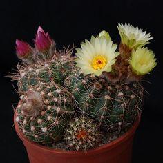 Cactus Flower, Flora, Plants, Succulents Garden, Sedum, Cacti And Succulents, Flowers, Unusual Plants, Garden Plants