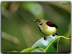 The Crimson-backed Sunbird or Small Sunbird (Leptocoma minima) is a sunbird endemic to the Western Ghats of India.