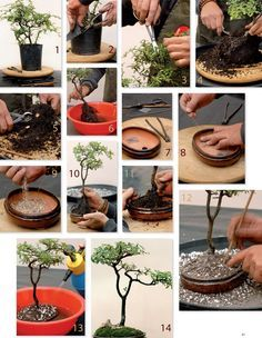 "The quickest way to create a bonsai is by using a stock plant from a nursery and cutting away the excess branches. Commonly referred to as the ""Cut & Grow"" method."