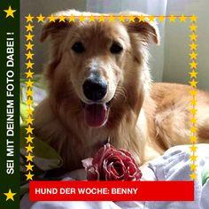 Mischling Benny Eine Rose für dich, weil ich dich so sehr liebe! ❤ #Hund: Benny / Rasse: #Mischling      Mehr Fotos: https://magazin.dogs-2-love.com/hund-der-woche/mischling-benny/ Foto, Freunde, Hund, Liebe