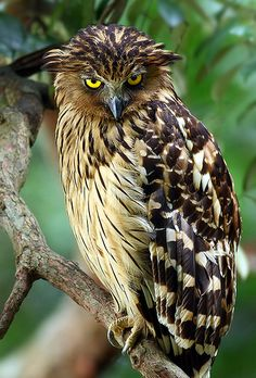 """Buffy Fish Owl has those Bedroom Eyes #birds #nature #photography"""