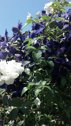 Garden Dreams Clematis jackamani with climbing iceberg rose How To Buy An Air Purifier Or Air Cleane House Yard, Like Animals, White Gardens, Green Plants, Clematis, Outdoor Entertaining, Beautiful Gardens, Climbing, Lawn