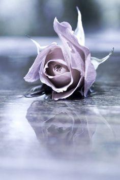 In memory of Sr. Ignatus, Orange, CA roses Not quite purple but a beautiful esquisite lilac rose. Lavender Roses, Purple Flowers, Lavander, Lavender Color, Purple Haze, Shades Of Purple, Soft Purple, Pink, Periwinkle