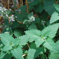 Catnip    A natural sedative that helps to ease digestion, colic and diarrhea.
