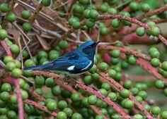 Black-throated Blue Warbler (Setophaga caerulescens) by Rafy Rodriguez