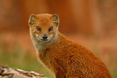 Photograph Yellow Mongoose by Jacqueline Bamber on 500px