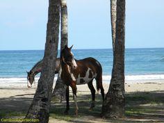 Wild horses on the beach in Carrillo, Costa Rica http://samarainfocenter.com/