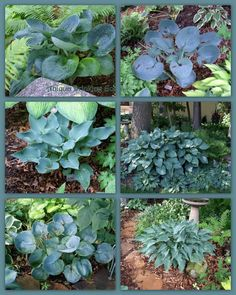 Your favorite blue hostas Backyard Shade, Shade Garden, Blue Hosta, Ferns Garden, Hosta Plants, Blue Leaves, Sculpting, Shades, Exterior