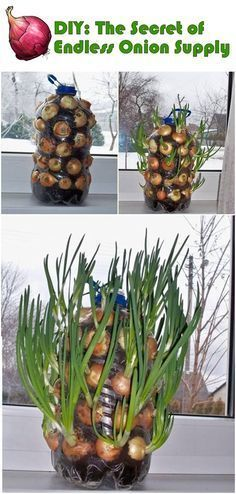 DIY: Endless onion supply - How simple it would be if every time you need the onions for cooking and just simply take one and grow another in his place. #hydroponicgardening