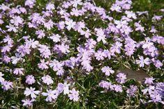 Phlox subulata  `Benita`      (Kruipende vlambloem)