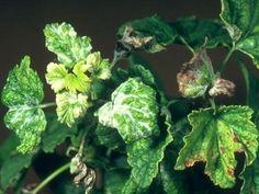 Nejčastější choroby a škůdci ovocných keřů – Abecedazahrady.cz Sprouts, Cabbage, Herbs, Vegetables, Plants, Gardening, Lawn And Garden, Cabbages, Herb