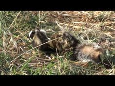 Great Marbled Polecat Honey I Shrunk Your Spotted Hyena Featured Creature