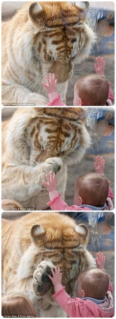 Dyrk Daniels went to Cougar Mountain Zoo in Issaquah, Washington State, to photograph the Bengal tigers and noticed a 370lb Bengal had taken an interest in the child, who was leaning against his glass enclosure. As the tiger, called Taj, headed over to her, Mr Daniels got his camera ready, expecting him to snarl and bang against the glass.  But amazingly the tiger hung his head, stretched a paw out to her hand and rubbed his cheek against where the girl's face was