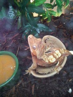 Tiramisu-crested gecko